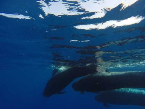 ¿Vemos ballenas en Tenerife?