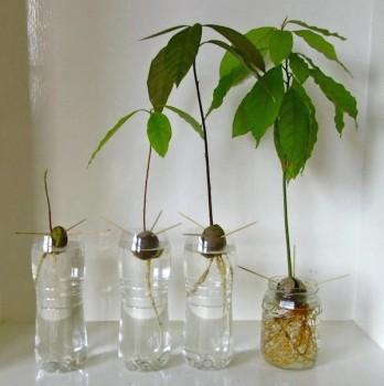 Experimentos caseros: plantar semillas de aguacate