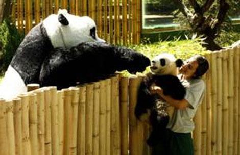 Po, oso panda del Zoológico de Madrid