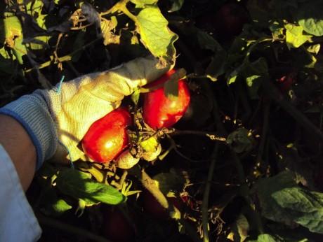 tomates ecologicos
