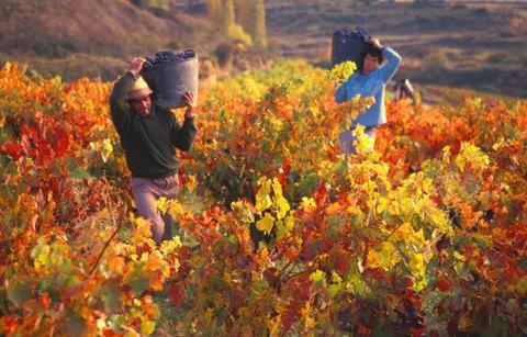 visitar La Rioja_vendimia