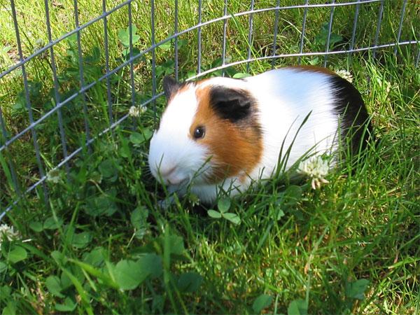 Mascotas pequeñas: cerdito de Guinea
