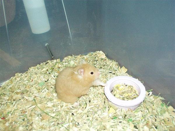 Hámsters, una mascota pequeña