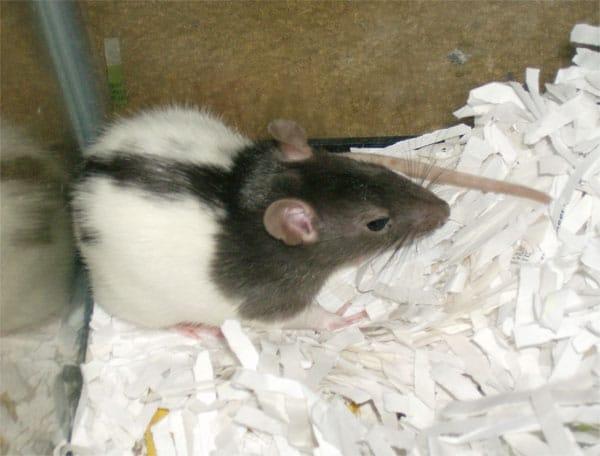 Mascotas: ratitas