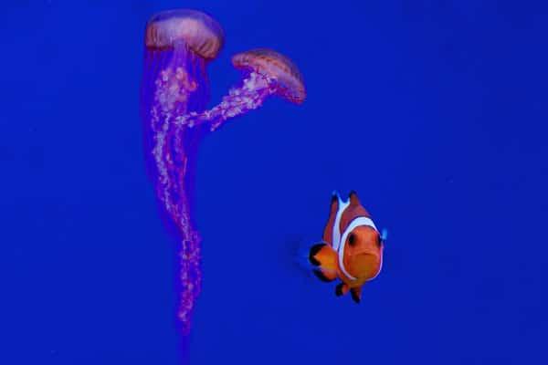 pez payaso medusas
