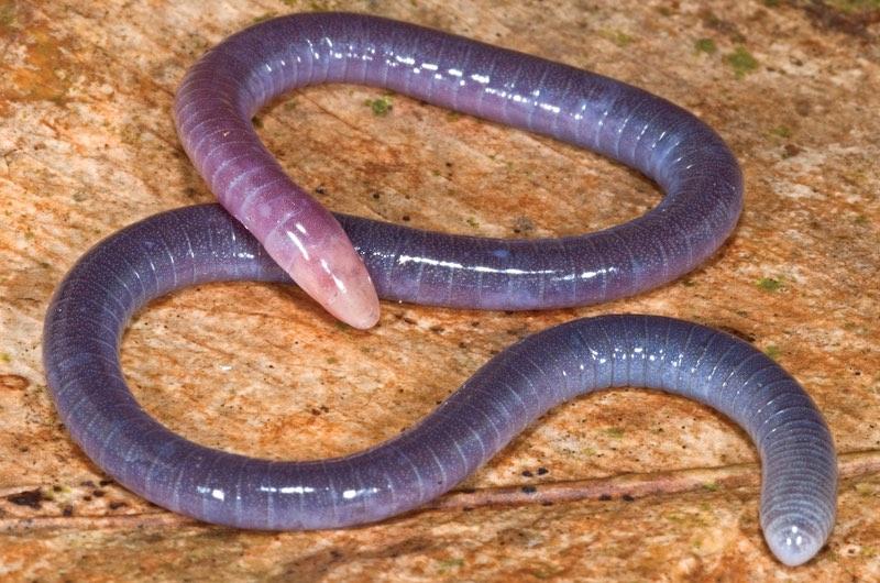 Anfibios cecilias