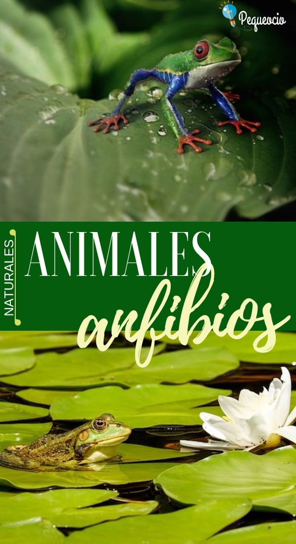 Anfibios, ¿qué animales son? 1
