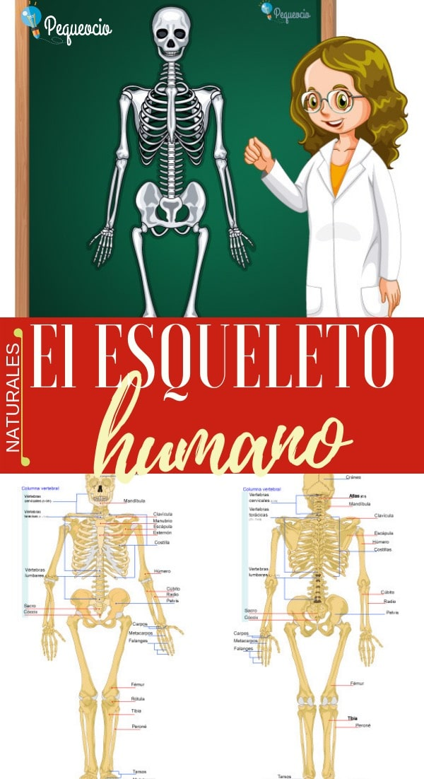 Esqueleto humano: partes, funciones e imágenes 1