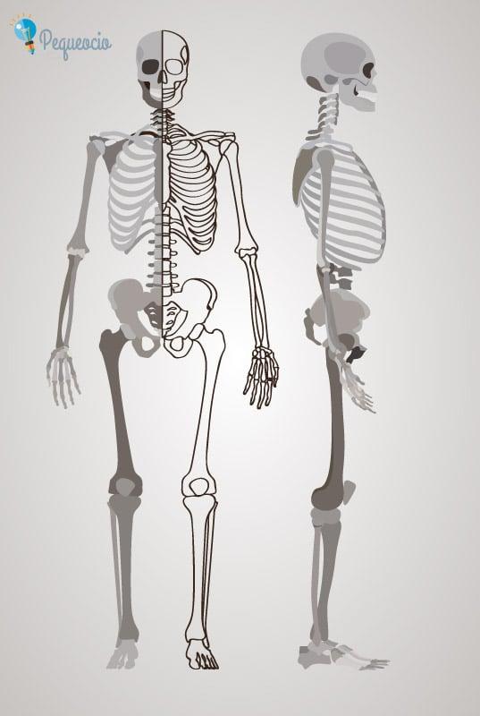 imagen esqueleto humano