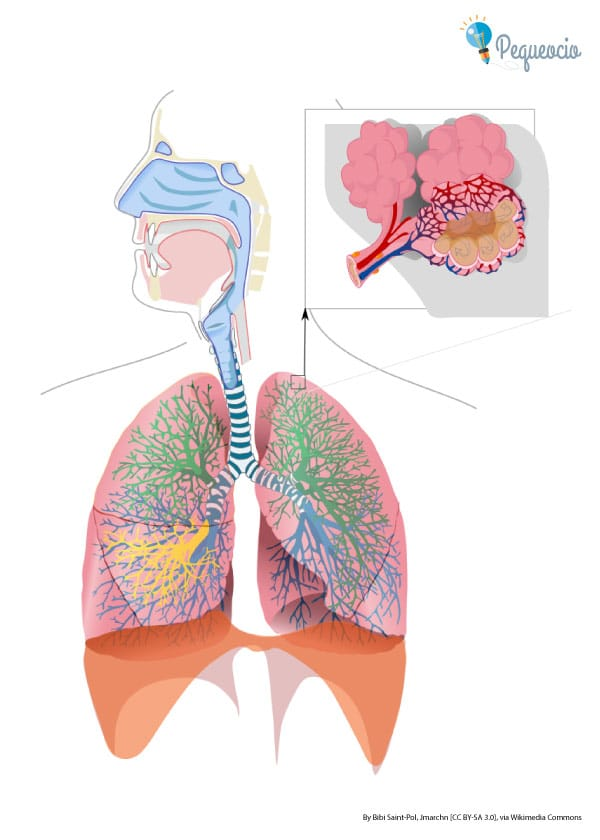 Aparato respiratorio dibujo