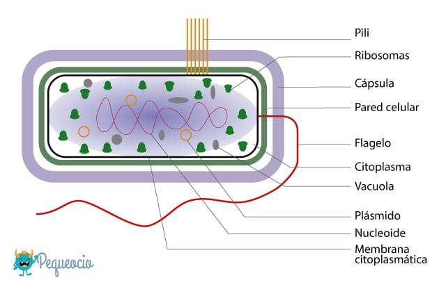 Qué son las bacterias