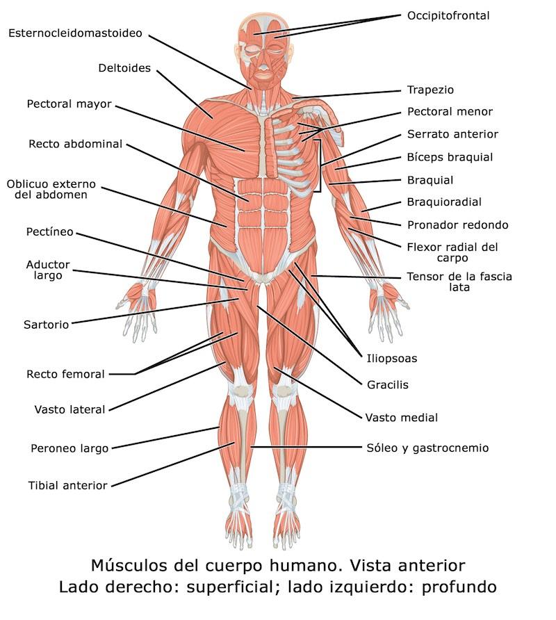 Cuántos músculos tiene el cuerpo