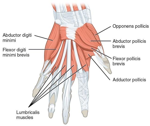 Los músculos del cuerpo