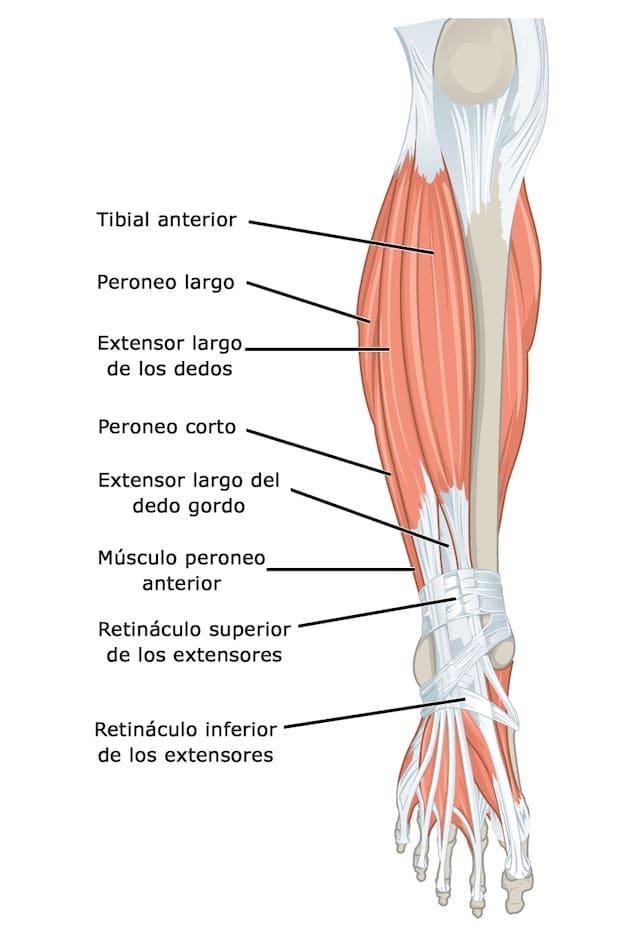 músculos cuerpo
