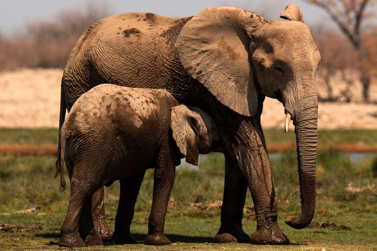 mamiferos placentarios