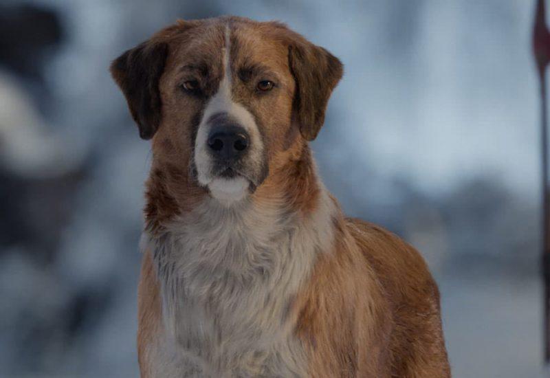 la llamada de lo salvaje pelicula perro harrison ford